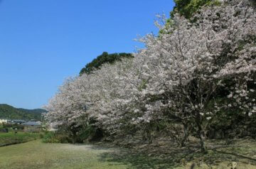 桜の時期:3月下旬から4月上旬
